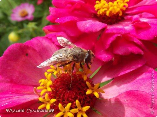 Бабочки - это цветы, которые сорвал ветер (с) Удивлены? Да, это бабочки - воздушные красавицы.  Эту запись можно было сделать летом, но ведь летом нам итак хватает тепла и солнышка.  А сейчас увы... Вот я побродила по своим альбомам и нашла теплый кусочек лета. Прикоснемся к нему вместе*)  Я большая  любительница бабочек))) Снимаю профессиональным фотоаппаратом. Эти крылатые создания сами летят ко мне) На даче посадила очень сладкий цветок, и вот результат)) Целый день вокруг него вьются воздушные красавицы.  фото 7