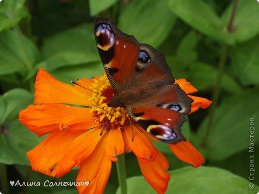 Бабочки - это цветы, которые сорвал ветер (с) Удивлены? Да, это бабочки - воздушные красавицы.  Эту запись можно было сделать летом, но ведь летом нам итак хватает тепла и солнышка.  А сейчас увы... Вот я побродила по своим альбомам и нашла теплый кусочек лета. Прикоснемся к нему вместе*)  Я большая  любительница бабочек))) Снимаю профессиональным фотоаппаратом. Эти крылатые создания сами летят ко мне) На даче посадила очень сладкий цветок, и вот результат)) Целый день вокруг него вьются воздушные красавицы.  фото 16