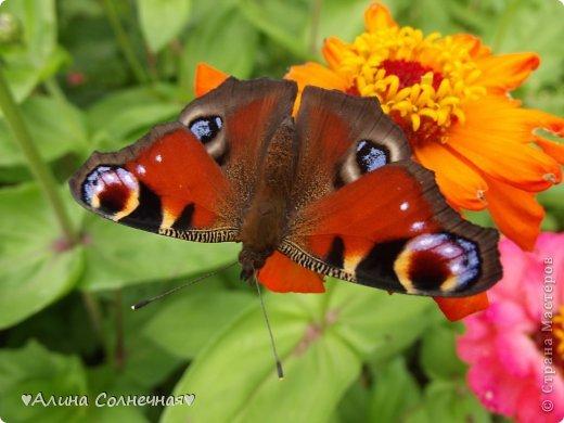 Бабочки - это цветы, которые сорвал ветер (с) Удивлены? Да, это бабочки - воздушные красавицы.  Эту запись можно было сделать летом, но ведь летом нам итак хватает тепла и солнышка.  А сейчас увы... Вот я побродила по своим альбомам и нашла теплый кусочек лета. Прикоснемся к нему вместе*)  Я большая  любительница бабочек))) Снимаю профессиональным фотоаппаратом. Эти крылатые создания сами летят ко мне) На даче посадила очень сладкий цветок, и вот результат)) Целый день вокруг него вьются воздушные красавицы.  фото 1