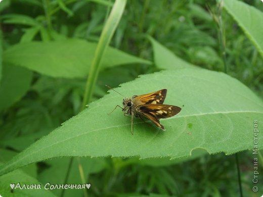Бабочки - это цветы, которые сорвал ветер (с) Удивлены? Да, это бабочки - воздушные красавицы.  Эту запись можно было сделать летом, но ведь летом нам итак хватает тепла и солнышка.  А сейчас увы... Вот я побродила по своим альбомам и нашла теплый кусочек лета. Прикоснемся к нему вместе*)  Я большая  любительница бабочек))) Снимаю профессиональным фотоаппаратом. Эти крылатые создания сами летят ко мне) На даче посадила очень сладкий цветок, и вот результат)) Целый день вокруг него вьются воздушные красавицы.  фото 9