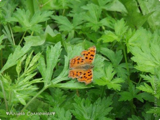 Бабочки - это цветы, которые сорвал ветер (с) Удивлены? Да, это бабочки - воздушные красавицы.  Эту запись можно было сделать летом, но ведь летом нам итак хватает тепла и солнышка.  А сейчас увы... Вот я побродила по своим альбомам и нашла теплый кусочек лета. Прикоснемся к нему вместе*)  Я большая  любительница бабочек))) Снимаю профессиональным фотоаппаратом. Эти крылатые создания сами летят ко мне) На даче посадила очень сладкий цветок, и вот результат)) Целый день вокруг него вьются воздушные красавицы.  фото 8