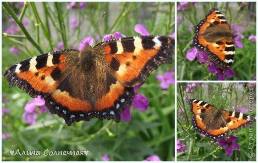 Бабочки - это цветы, которые сорвал ветер (с) Удивлены? Да, это бабочки - воздушные красавицы.  Эту запись можно было сделать летом, но ведь летом нам итак хватает тепла и солнышка.  А сейчас увы... Вот я побродила по своим альбомам и нашла теплый кусочек лета. Прикоснемся к нему вместе*)  Я большая  любительница бабочек))) Снимаю профессиональным фотоаппаратом. Эти крылатые создания сами летят ко мне) На даче посадила очень сладкий цветок, и вот результат)) Целый день вокруг него вьются воздушные красавицы.  фото 6