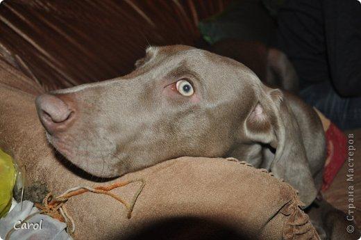 Знакомьтесь:Дэля.  Дэля - веймарская легавая, веймаранер. фото 32