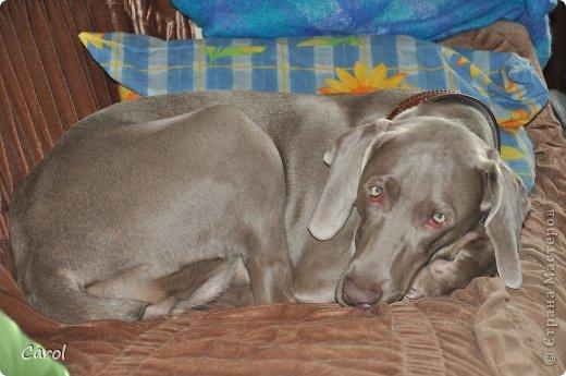 Знакомьтесь:Дэля.  Дэля - веймарская легавая, веймаранер. фото 39