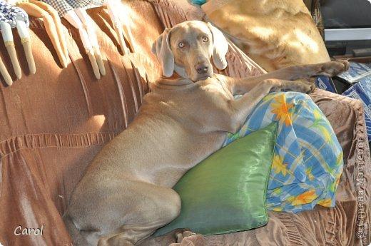 Знакомьтесь:Дэля.  Дэля - веймарская легавая, веймаранер. фото 42