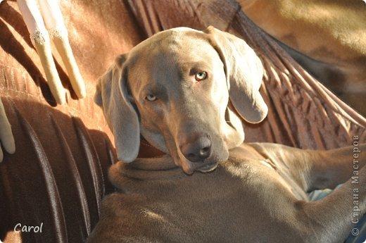 Знакомьтесь:Дэля.  Дэля - веймарская легавая, веймаранер. фото 44