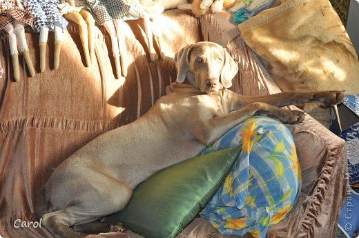 Знакомьтесь:Дэля.  Дэля - веймарская легавая, веймаранер. фото 43