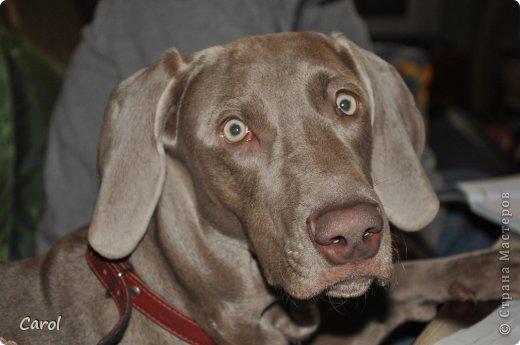 Знакомьтесь:Дэля.  Дэля - веймарская легавая, веймаранер. фото 37