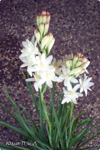 """Давно что-то не делала я цветов, и когда обратилась к своим запасникам обнаружила фото цветка, никак не похожего на розу,  под названием  - тубероза. Благодаря инету знаю, что лепестки туберозы имеют довольно плотную структуру и внешне смотрятся как восковые. На родине (Мексика)  ее называют каменным цветком, в Китае - душистый нефрит. Запах туберозы слегка напоминает лилейный или гиацинтовый, поэтому этот цветок нередко называют «ночным гиацинтом», используют в парфюмерии. В реальной жизни я цветка не видела, делала по фото, т.ч. могут быть и ошибки. Но если кому интересно, делаем со мной, это совсем не трудно. Обычно тубероза имеет белые цветки, но уже выведены махровые формы с кремовыми, розовыми, сиреневыми, пурпурными цветками. У меня цветы как бы кремовые, т.к. клей изначально был желтоват. Цветы сделаны из самоварной массы """"холодный фарфор"""". фото 6"""