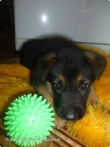Добрый день! Еще 12 августа мы взяли домой 1 месячного щеночка немецкой овчарки, который вырос могучим и сильным (8 месяцев) Это фотография в 1 день, как мы его привезли) 12 августа 2012 фото 1