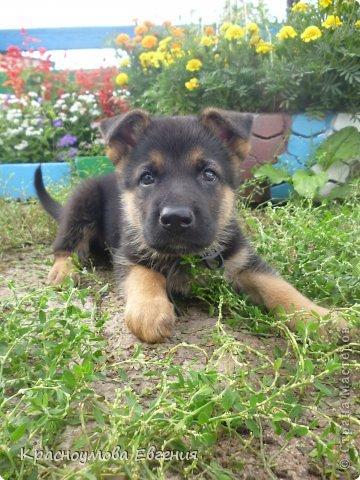 Добрый день! Еще 12 августа мы взяли домой 1 месячного щеночка немецкой овчарки, который вырос могучим и сильным (8 месяцев) Это фотография в 1 день, как мы его привезли) 12 августа 2012 фото 2