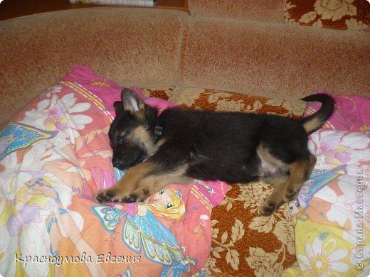 Добрый день! Еще 12 августа мы взяли домой 1 месячного щеночка немецкой овчарки, который вырос могучим и сильным (8 месяцев) Это фотография в 1 день, как мы его привезли) 12 августа 2012 фото 3