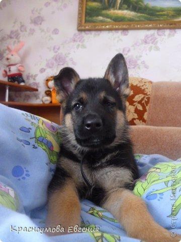 Добрый день! Еще 12 августа мы взяли домой 1 месячного щеночка немецкой овчарки, который вырос могучим и сильным (8 месяцев) Это фотография в 1 день, как мы его привезли) 12 августа 2012 фото 5