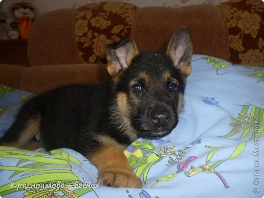 Добрый день! Еще 12 августа мы взяли домой 1 месячного щеночка немецкой овчарки, который вырос могучим и сильным (8 месяцев) Это фотография в 1 день, как мы его привезли) 12 августа 2012 фото 6