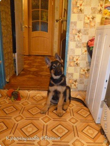 Добрый день! Еще 12 августа мы взяли домой 1 месячного щеночка немецкой овчарки, который вырос могучим и сильным (8 месяцев) Это фотография в 1 день, как мы его привезли) 12 августа 2012 фото 8
