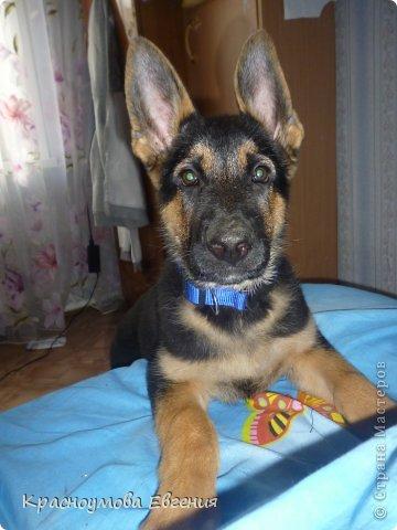 Добрый день! Еще 12 августа мы взяли домой 1 месячного щеночка немецкой овчарки, который вырос могучим и сильным (8 месяцев) Это фотография в 1 день, как мы его привезли) 12 августа 2012 фото 9