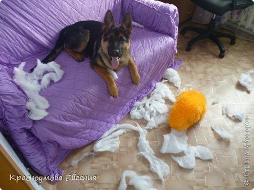 Добрый день! Еще 12 августа мы взяли домой 1 месячного щеночка немецкой овчарки, который вырос могучим и сильным (8 месяцев) Это фотография в 1 день, как мы его привезли) 12 августа 2012 фото 15
