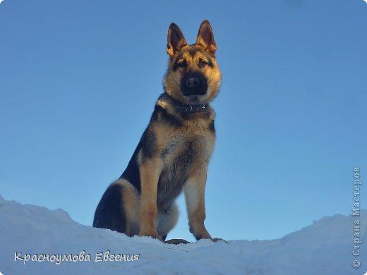 Добрый день! Еще 12 августа мы взяли домой 1 месячного щеночка немецкой овчарки, который вырос могучим и сильным (8 месяцев) Это фотография в 1 день, как мы его привезли) 12 августа 2012 фото 17