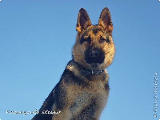 Добрый день! Еще 12 августа мы взяли домой 1 месячного щеночка немецкой овчарки, который вырос могучим и сильным (8 месяцев) Это фотография в 1 день, как мы его привезли) 12 августа 2012 фото 18