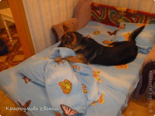 Добрый день! Еще 12 августа мы взяли домой 1 месячного щеночка немецкой овчарки, который вырос могучим и сильным (8 месяцев) Это фотография в 1 день, как мы его привезли) 12 августа 2012 фото 24