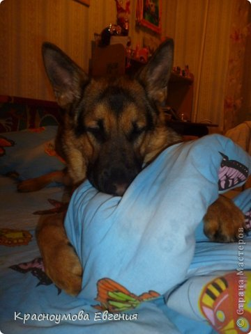 Добрый день! Еще 12 августа мы взяли домой 1 месячного щеночка немецкой овчарки, который вырос могучим и сильным (8 месяцев) Это фотография в 1 день, как мы его привезли) 12 августа 2012 фото 25