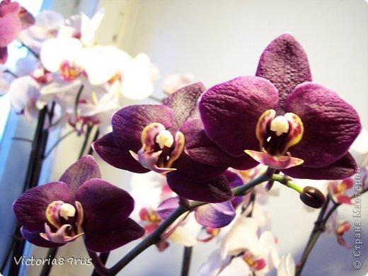 С нее все началось,  первый цветок подарили в 2010 году, это была любовь с первого взгляда! фото 9