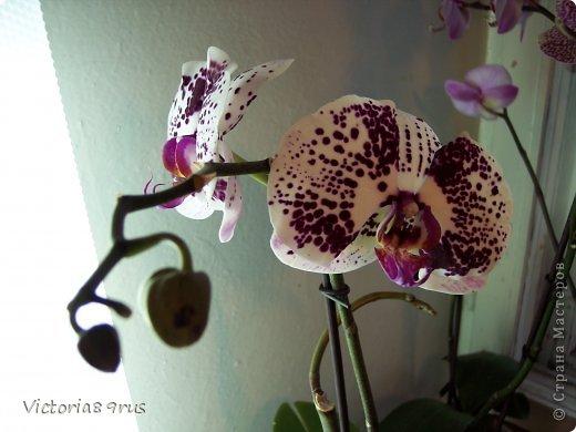 С нее все началось,  первый цветок подарили в 2010 году, это была любовь с первого взгляда! фото 11