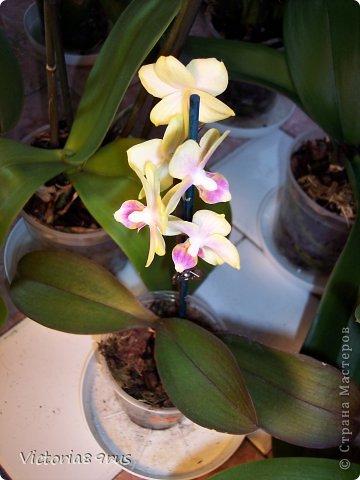 С нее все началось,  первый цветок подарили в 2010 году, это была любовь с первого взгляда! фото 13