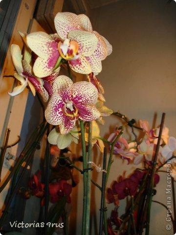 С нее все началось,  первый цветок подарили в 2010 году, это была любовь с первого взгляда! фото 2