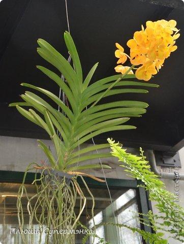 """Вот уже в четвертый раз """"Аптекарский  огород"""" (Ботанический сад МГУ им. ЛОмоносова) проводит фестиваль орхидей, а в этом году еще и выставку суккулентов. Посетив пальмовую оранжерею """"Аптекарского огорода"""" погружаешься в тропическое лето среди зимы. В этом году фестиваль заканчивается 24 марта. Жители и гости столицы, у вас еще есть целая неделя! Сходите, не пожалеете! Вся информация есть на сайте ботанического сада МГУ.  Ну а дальше, просто мои фото, без комментариев-наслаждайтесь!!! фото 18"""