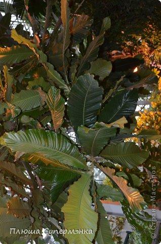 """Вот уже в четвертый раз """"Аптекарский  огород"""" (Ботанический сад МГУ им. ЛОмоносова) проводит фестиваль орхидей, а в этом году еще и выставку суккулентов. Посетив пальмовую оранжерею """"Аптекарского огорода"""" погружаешься в тропическое лето среди зимы. В этом году фестиваль заканчивается 24 марта. Жители и гости столицы, у вас еще есть целая неделя! Сходите, не пожалеете! Вся информация есть на сайте ботанического сада МГУ.  Ну а дальше, просто мои фото, без комментариев-наслаждайтесь!!! фото 43"""