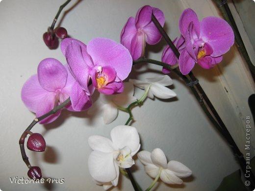 С нее все началось,  первый цветок подарили в 2010 году, это была любовь с первого взгляда! фото 15