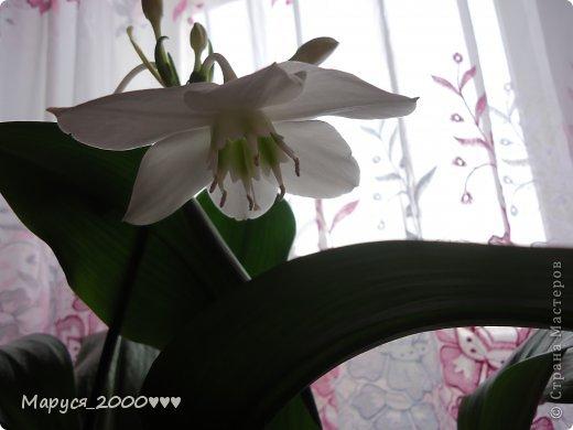 На день рождения мне подарили фотоаппарат и в этот же день распустилась амазонская лилия  ну вот решила фотоаппарат  проверить и цветочки на память сфотографировать . фото 3