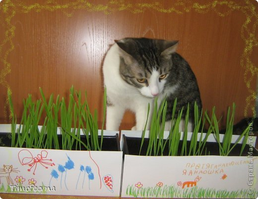 """Привет всем гостям моей странички и особенно любителям кошек!  Да, я обожаю кошек, но сама котика завела всего полгода назад, взяли его по объявлению и назвали его Антоша. Как и у любых котов, у нашего Антошки есть свои особенные черты характера. Одна из них странновата для кота, он у нас почти вегетерианец :) мясо не ест, рыбу редко, но вот если учует запах рагу, вареной моркови или моей любимой стручковой фасоли, то весь на """"мяв"""" изойдется, вилку будет на лету из рук выбивать, лишь бы ему тоже в тарелочку наложили.  Вот так его и подкармливаем овощами, а недавно решили с ребятишками ещё и травку для него вырастить, специальную, кошачью. Подумали, что и полезно ему будет и приятно котику сделаем. и не прогадали. фото 1"""