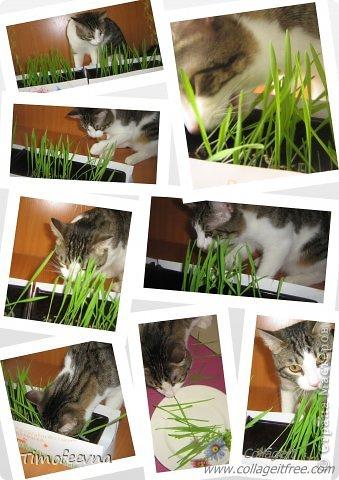 """Привет всем гостям моей странички и особенно любителям кошек!  Да, я обожаю кошек, но сама котика завела всего полгода назад, взяли его по объявлению и назвали его Антоша. Как и у любых котов, у нашего Антошки есть свои особенные черты характера. Одна из них странновата для кота, он у нас почти вегетерианец :) мясо не ест, рыбу редко, но вот если учует запах рагу, вареной моркови или моей любимой стручковой фасоли, то весь на """"мяв"""" изойдется, вилку будет на лету из рук выбивать, лишь бы ему тоже в тарелочку наложили.  Вот так его и подкармливаем овощами, а недавно решили с ребятишками ещё и травку для него вырастить, специальную, кошачью. Подумали, что и полезно ему будет и приятно котику сделаем. и не прогадали. фото 8"""