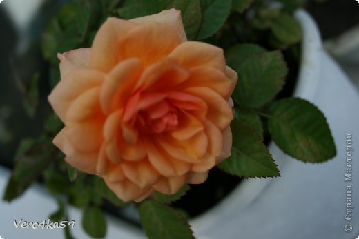 Цветут мои цветочки. фото 4