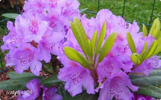 Мне нравятся сорта фиолетовой расцветки фото 1