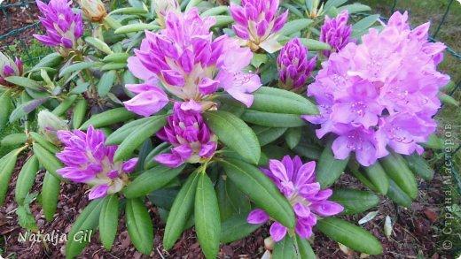 Мне нравятся сорта фиолетовой расцветки фото 8