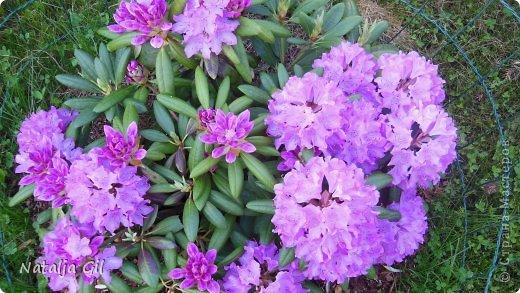 Мне нравятся сорта фиолетовой расцветки фото 10