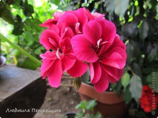 Мои любимые пеларгонии, они сейчас цветут, хочу с вами поделиться красотой! Этот цветок алого цвета. фото 5
