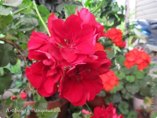 Мои любимые пеларгонии, они сейчас цветут, хочу с вами поделиться красотой! Этот цветок алого цвета. фото 8