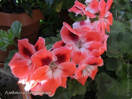 Мои любимые пеларгонии, они сейчас цветут, хочу с вами поделиться красотой! Этот цветок алого цвета. фото 6