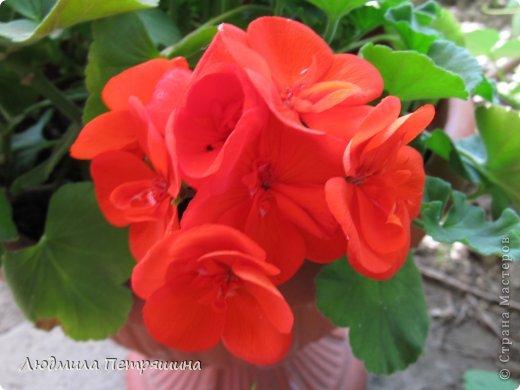 Мои любимые пеларгонии, они сейчас цветут, хочу с вами поделиться красотой! Этот цветок алого цвета. фото 1