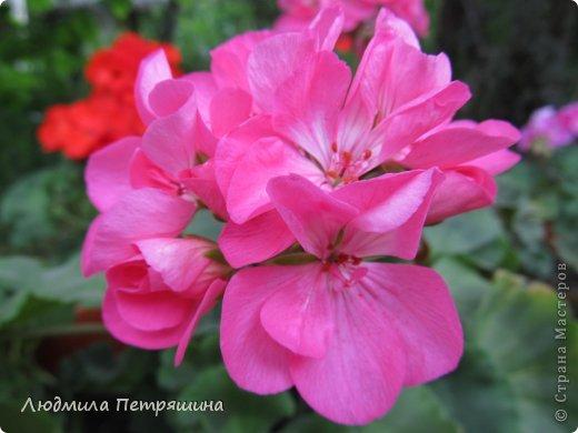 Мои любимые пеларгонии, они сейчас цветут, хочу с вами поделиться красотой! Этот цветок алого цвета. фото 4