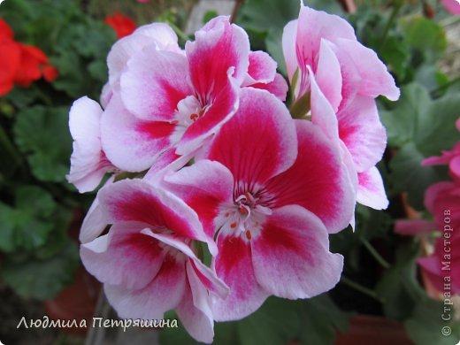 Мои любимые пеларгонии, они сейчас цветут, хочу с вами поделиться красотой! Этот цветок алого цвета. фото 2