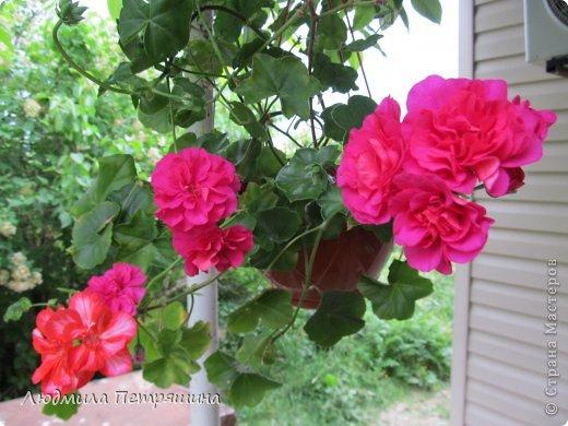 Мои любимые пеларгонии, они сейчас цветут, хочу с вами поделиться красотой! Этот цветок алого цвета. фото 3