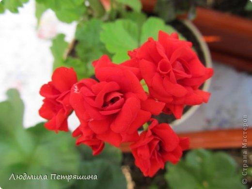 Мои любимые пеларгонии, они сейчас цветут, хочу с вами поделиться красотой! Этот цветок алого цвета. фото 9