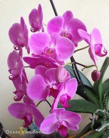 Зацвели и мои красавицы. Хочу порадовать и Вас, дорогой гость, цветением моих орхидей. фото 12