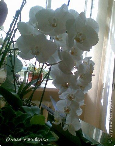 Зацвели и мои красавицы. Хочу порадовать и Вас, дорогой гость, цветением моих орхидей. фото 11