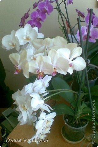Зацвели и мои красавицы. Хочу порадовать и Вас, дорогой гость, цветением моих орхидей. фото 10